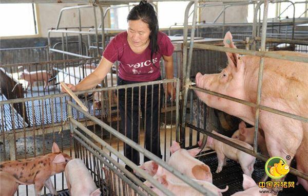 养猪想赚钱,这几方面养猪人你做好了吗?