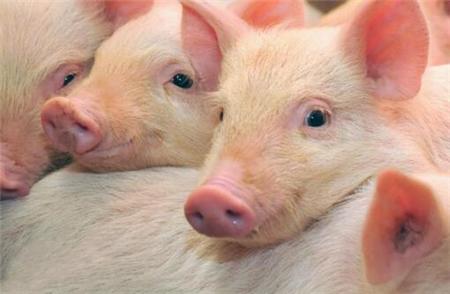 2018年06月19日(15至19公斤)仔猪价格行情走势