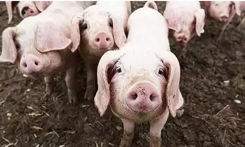 注意!非禁养区猪场环保不达标也会遭关闭!