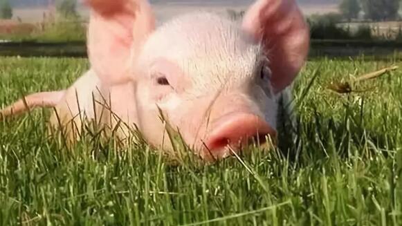 """""""回头看""""之江苏篇:累计减少存栏生猪142.48万头,禁养区完成搬迁任务"""