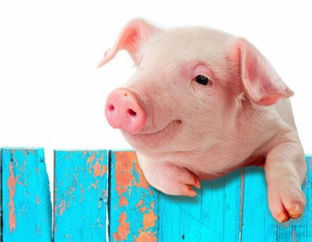 药物搭配错误,轻则失效重则猪死亡,养殖户知道怎么搭配药物吗?