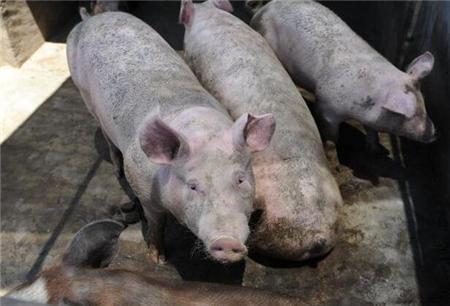 农村养猪人身上普遍有这2个问题,你有吗?