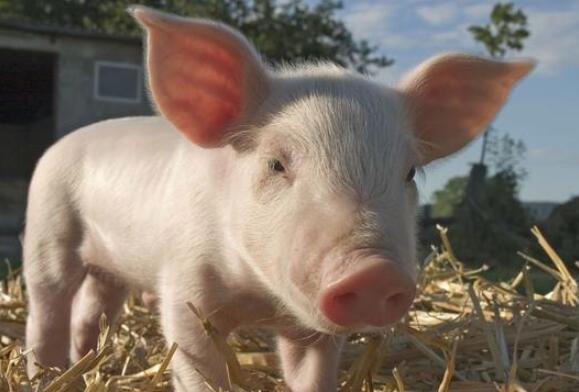 卖猪不如炒猪,猪市几乎成了股市!