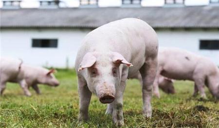 【养猪指南】猪场感染蓝耳病的5大征兆!