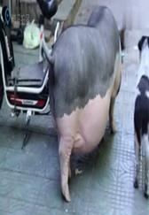 女子将宠物猪养成200斤肥猪,老公卖猪时她大哭阻止!