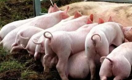 夏季猪场都要用磺胺,但磺胺药你真的会用?