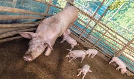 【养猪指南】哺乳母猪的饲养管理及疾病预防!