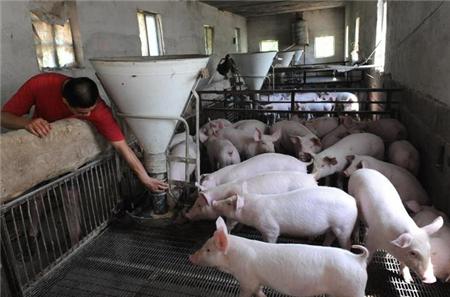 养猪人注意:每年八月,猪场这个病最易引起猪瘟!