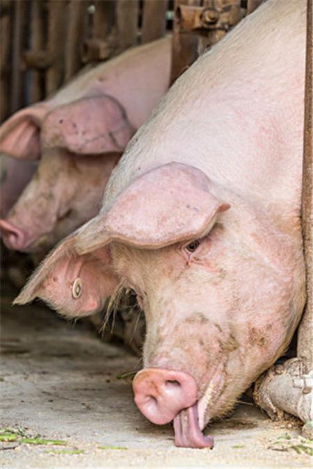 """养猪该如何养?今天谈谈对""""养""""的理解!"""