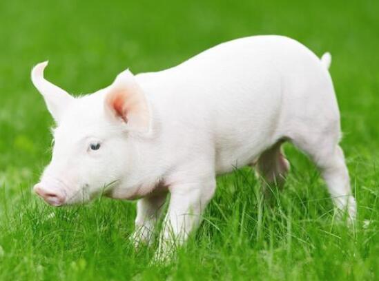 猪场生长肥育猪饲养管理的几个要点!