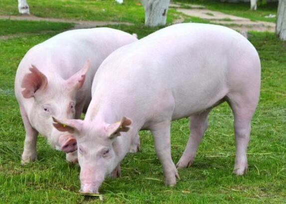 猪群的饲养管理和保健措施养猪人你都了解吗?