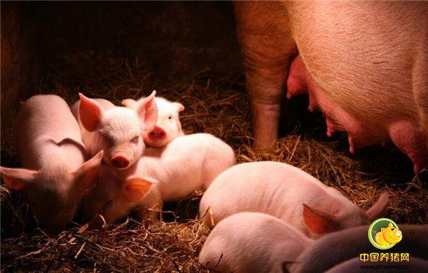 仔猪出现腹泻,养殖户首先这样做,可减少仔猪死亡!