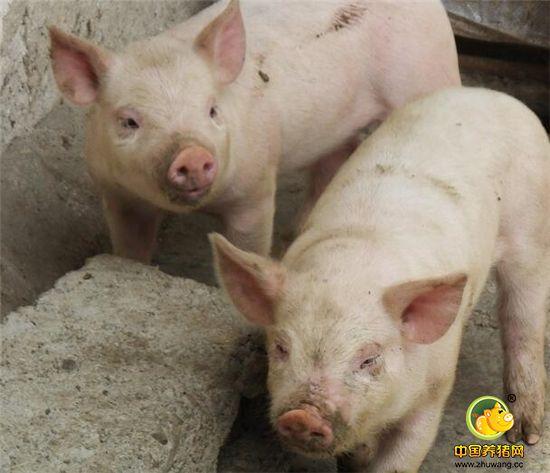 乡村摄影纪实:农民饲养的仔猪,可爱!给农家带来不菲的经济收入!