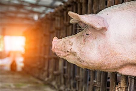要猪长得快又好养活?猪舍光源与光色的选择很重要!