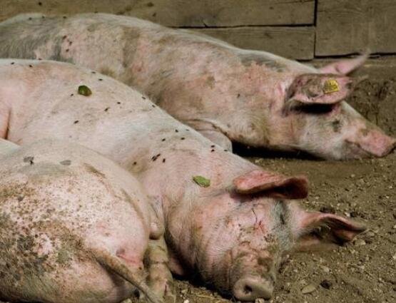 三个规模化猪场伪狂犬病血清学调查与分析!