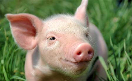 2018年06月22日(20至30公斤)仔猪价格行情走势
