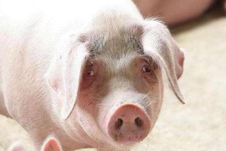 规模猪场生长育肥猪精准营养技术应用