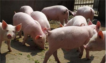 2018年06月23日(15至19公斤)仔猪价格行情走势