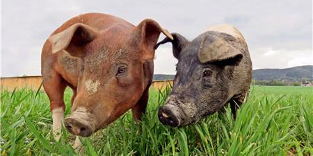 猪价或持续弱势震荡,生猪结算价稳定为主!