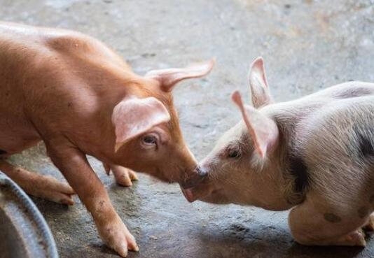 6月底猪价能否迎来反弹?专家:可能性不大!