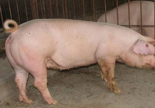 夏季猪场繁育工作难?公猪精液是关键!
