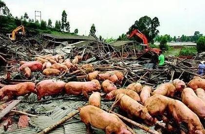 猪是恒温动物,皮下脂肪厚,汗腺不发达,不善于通过皮肤蒸发散热来调节体温。再者,猪又乃水畜,性喜阴湿之地、烦躁热之气。