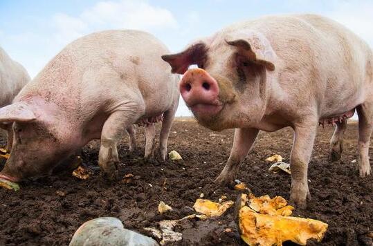 生猪行业划出生死线:猪场成本必须低于11.5元才能活?