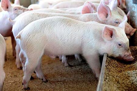 饲料和人工价格上涨  生猪养殖亏损严重