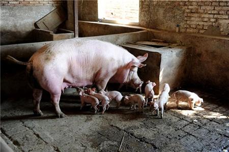猪场自己添加鱼粉、膨化大豆、豆油这些原料可能带来的风险及损失!
