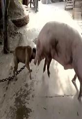 狗狗挑衅猪大哥,下一秒瞬间就被猪大哥拱飞!