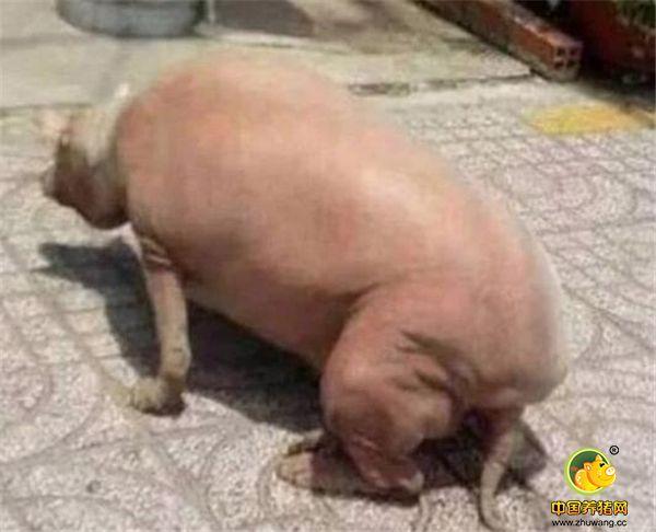朋友上前一看究竟,原来是一只猪背对着人们,坐在地上,朋友心想,这是谁家的猪,不在家里好好养着,怎么跑到路上坐着呢?