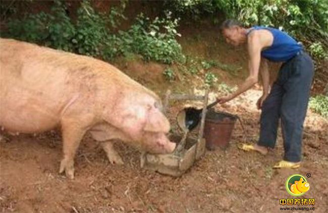 灵性十足,400斤肥猪雨夜不顾危险只为救主人!