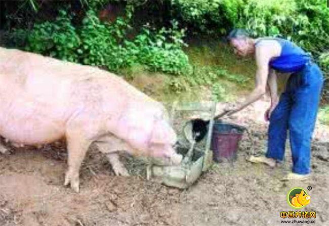 据岑溪市渔牧兽医局专家介绍,有关资料表明,猪的自然寿命一般在10年左右,而肉猪一般养到七八个月就可以出栏屠宰了。这头肉猪饲养时间长达13年且还在继续生长,比较罕见。