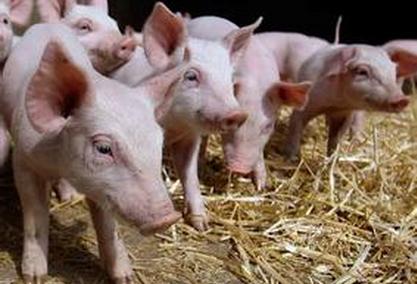 整个生猪产业链都在苦苦支撑等待黎明?