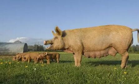母猪死胎原因多,解决便秘是关键