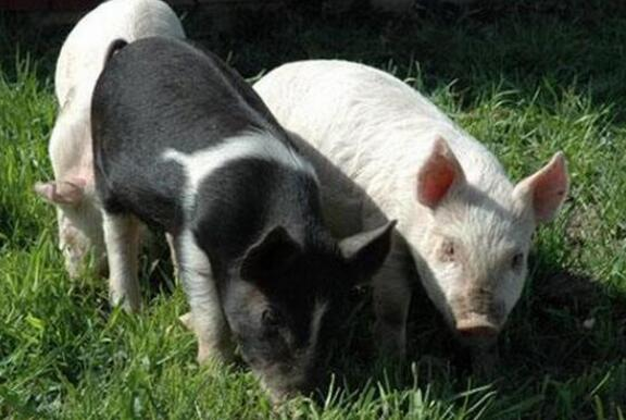 这辈子只服养猪人:成也养猪,败也养猪!