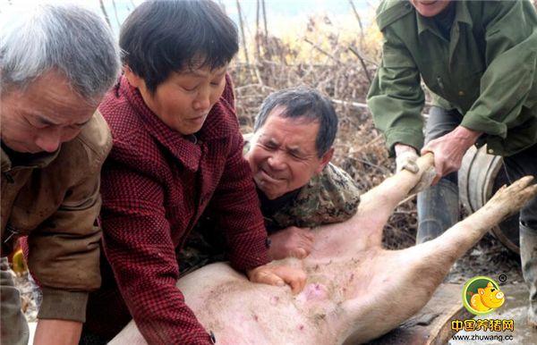 湖南6旬夫妻杀猪匠,两人一天轻松杀5头猪还嫌不过瘾,说猪不够杀!