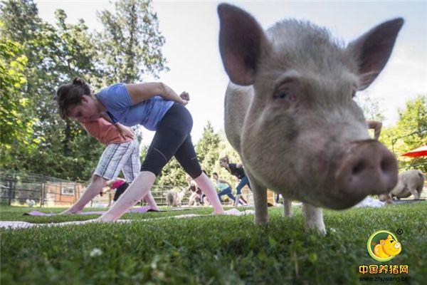 """这家伙真有灵性!瑜伽课上一丝不苟严肃认真的""""猪教练"""""""