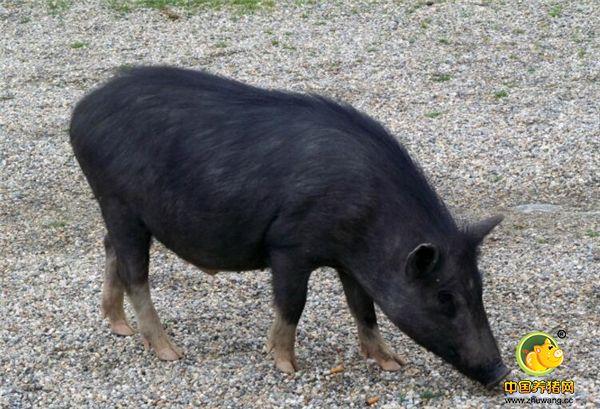 """藏香猪又名""""人参猪""""和""""蕨麻猪"""",是一种畜禽品种,是川西高原、云南、西藏、甘肃甘南和岷县特有的一种古老畜种资源,是西藏原始的瘦肉型猪种,属于外牧养类。"""