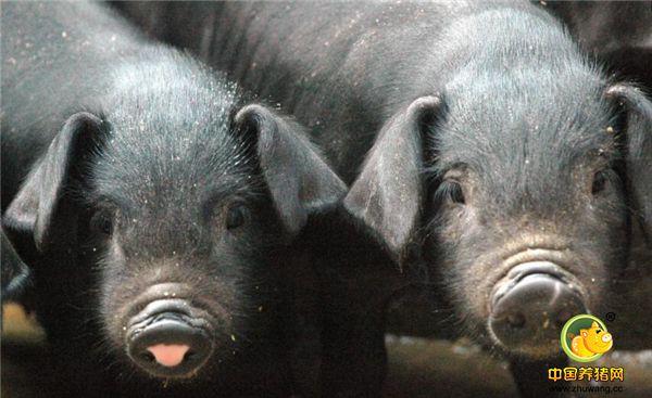 北方人很难见到的猪,藏香猪世界少有的高原型猪种,你吃过吗?