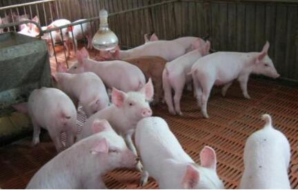 温氏预计低迷行情持续至2019!肉猪出栏目标5000万头左右