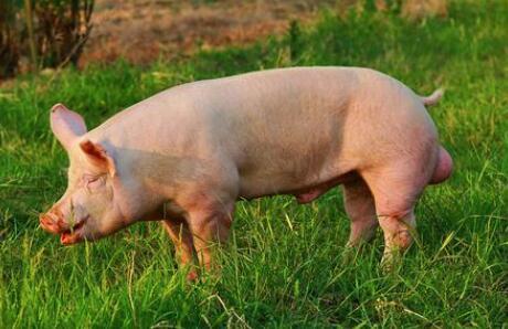 规模猪场公猪舍设计有哪些注意事项?