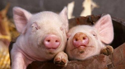 中国5月猪肉进口量同比下降3.6% 环比有所上升