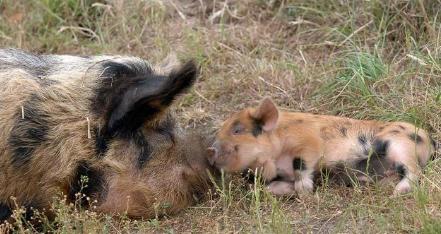 把育种搞好,我们的养猪业离成功就不远了