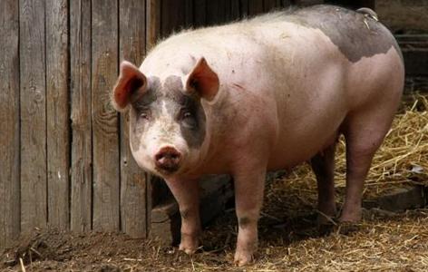 多地规模猪场上调出栏价,这波提价能赢吗?