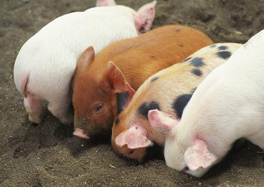 拆迁凶猛,猪农反感一刀切:渴望一个理想的养殖环境!