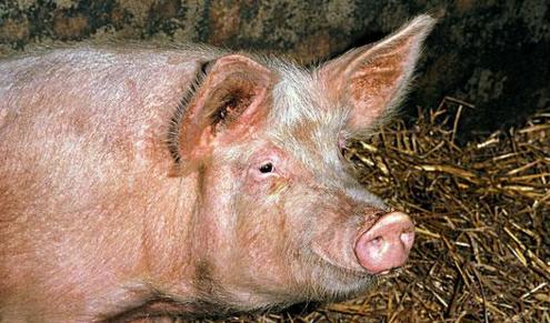 猪业盛典!中国猪业影响力首届年度论坛将在武汉召开