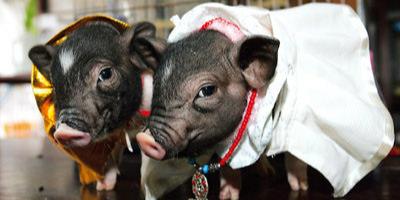 猪价震荡充满不确定性,养户如何把握出栏?