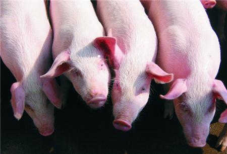 养了这么多年的猪,我已看不懂猪价!猪周期缘何失灵?