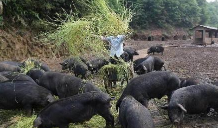 猪价或低迷到2019年,2019年春节猪价还会下跌吗!